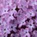 Lilacs's picture